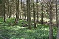 Sheep in the trees - geograph.org.uk - 794293.jpg