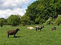 Sheep on St Catherine's Hill - geograph.org.uk - 450583.jpg