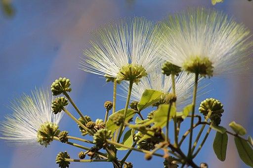 Shirish,-Albezia lebbeck-Mimosaceae