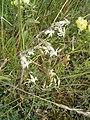 Silene nutans plant.jpg