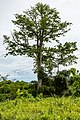 Sipitang-District Bee-tree-01.jpg