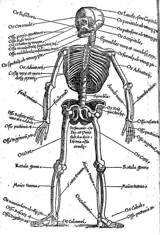 fileskeleton with latin key to names of bones wellcome