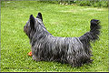 Skye terrier stailij William Willi.jpg