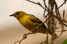 Slender billed weaver fem1.jpg
