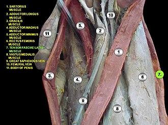 Tensor fasciae latae muscle - Image: Slide 7rrr