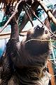 Sloth Looking Back (17915920878).jpg
