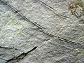 Small faults in seismite horizon (Cowbell Member, Borden Formation, Lower Mississippian; Portsmouth Bypass roadcut, Ohio, USA) 1 (48118399572).jpg