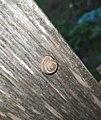 Snail cochlea.jpg