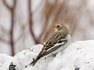 Snow bunting -  A female snow bunting wintering atop Mount Agamenticus in York, ME.