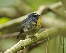 Snowy-browed Flycatcher (Ficedula hyperythra).jpg