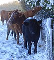 Snowy cattle beside Cowleaze Wood, Lewknor - geograph.org.uk - 1034184.jpg