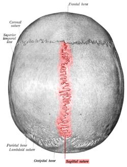 Sutura Sagital en el Cráneo Humano y el Tiempo de Cierre