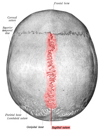 Sagittal suture - Human adult skull from above.