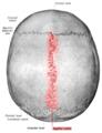 Sobo 1909 46 - sagittal suture.png
