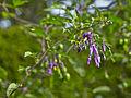 Solanum dulcamara-IMG 9306.jpg