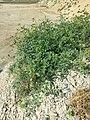 Solanum lycopersicum sl9.jpg