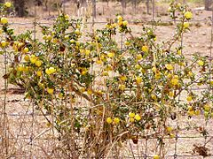 Solanum sodomeum shrub.jpg