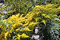 Solidago canadensis Crown of Rays 8zz.jpg