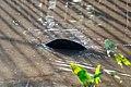Soltura de peixe-boi, Amapá (48997100508).jpg