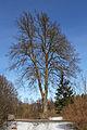 Sommerlinde bei der Anderlfabrik 2014-02 02 NÖ-Naturdenkmal GD-091.jpg