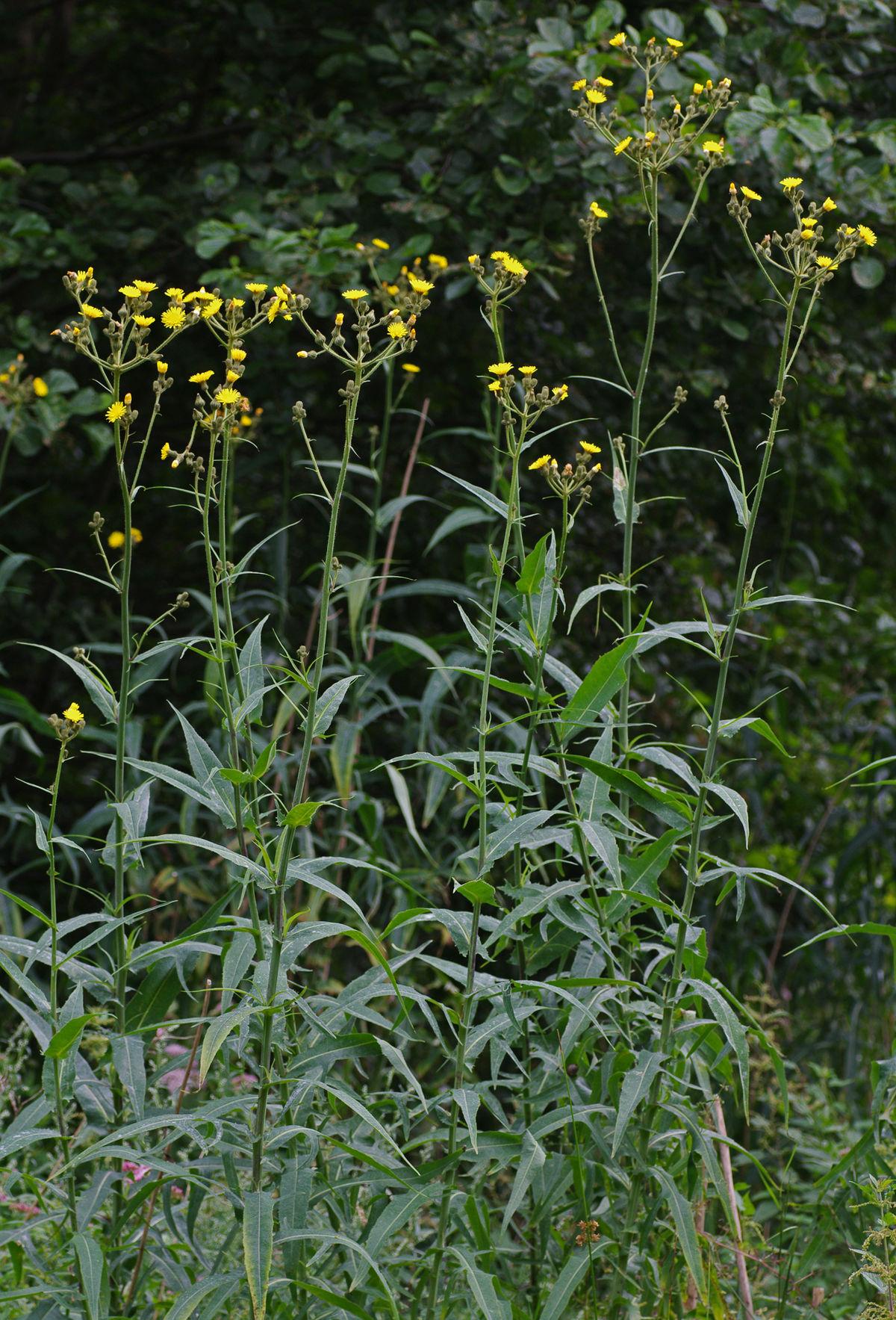 sonchus palustris  u2014 wikip u00e9dia