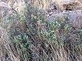 Sophora gypsophila.jpg