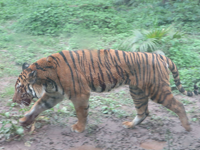 File:South China tiger, Chongqing Zoo, China.JPG