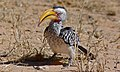 Southern Yellow-billed Hornbill (Tockus leucomelas) (6549793121).jpg