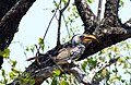Southern Yellow Billed Hornbill (26380520969).jpg