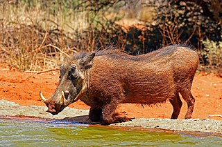 Common warthog Wild member of the pig family