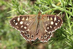 Speckled Wood Butterfly (Pararge aegeria) - geograph.org.uk - 199396.jpg