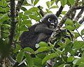 Spectacled Langur (Presbytis obscura) - Flickr - Lip Kee (1).jpg