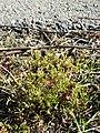 Spergularia marina sl44.jpg