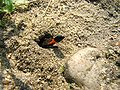 Sphecidae kpjas 26082007-1.jpg