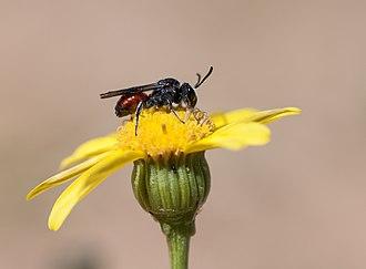Nomadinae - Sphecodopsis sp. in South Africa
