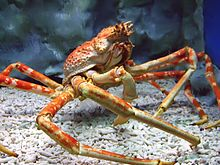 Japanese spider crab - Wikipedia