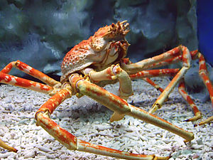 Japanese spider crab - A Japanese spider crab at the Manila Ocean Park, the Philippines
