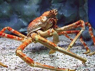 Japanese spider crab - A Japanese spider crab at the Manila Ocean Park, the Philippines