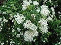 Spiraea japonica Alba1UME.JPG