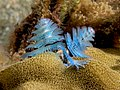 Spirobranchus giganteus (Christmas tree worm) baby blue.jpg