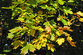 Spitz-Ahorn (Acer platanoides) 2.jpg