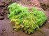 Spongilla lacustris.jpg
