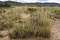 Sporobolus airoides - Flickr - aspidoscelis (6).jpg