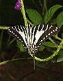 Spot Swordtail Graphium nomius UP by Dr. Raju Kasambe DSCN6948 (7).jpg