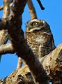Spotted owlet (the detective).jpg
