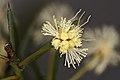 Spreading Wattle bud (Acacia genistifolia) (18422798433).jpg