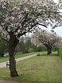 Spring blossom on the Promenade - geograph.org.uk - 1288428.jpg