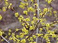 Spring buds P4100099.JPG