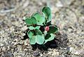 Sprouting chonggakmu(chonggak radish).jpg