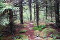 Spruce Knob - spruce forest 2.jpg